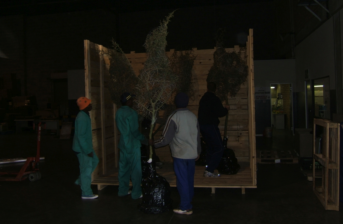 Tree export by air freight being packed